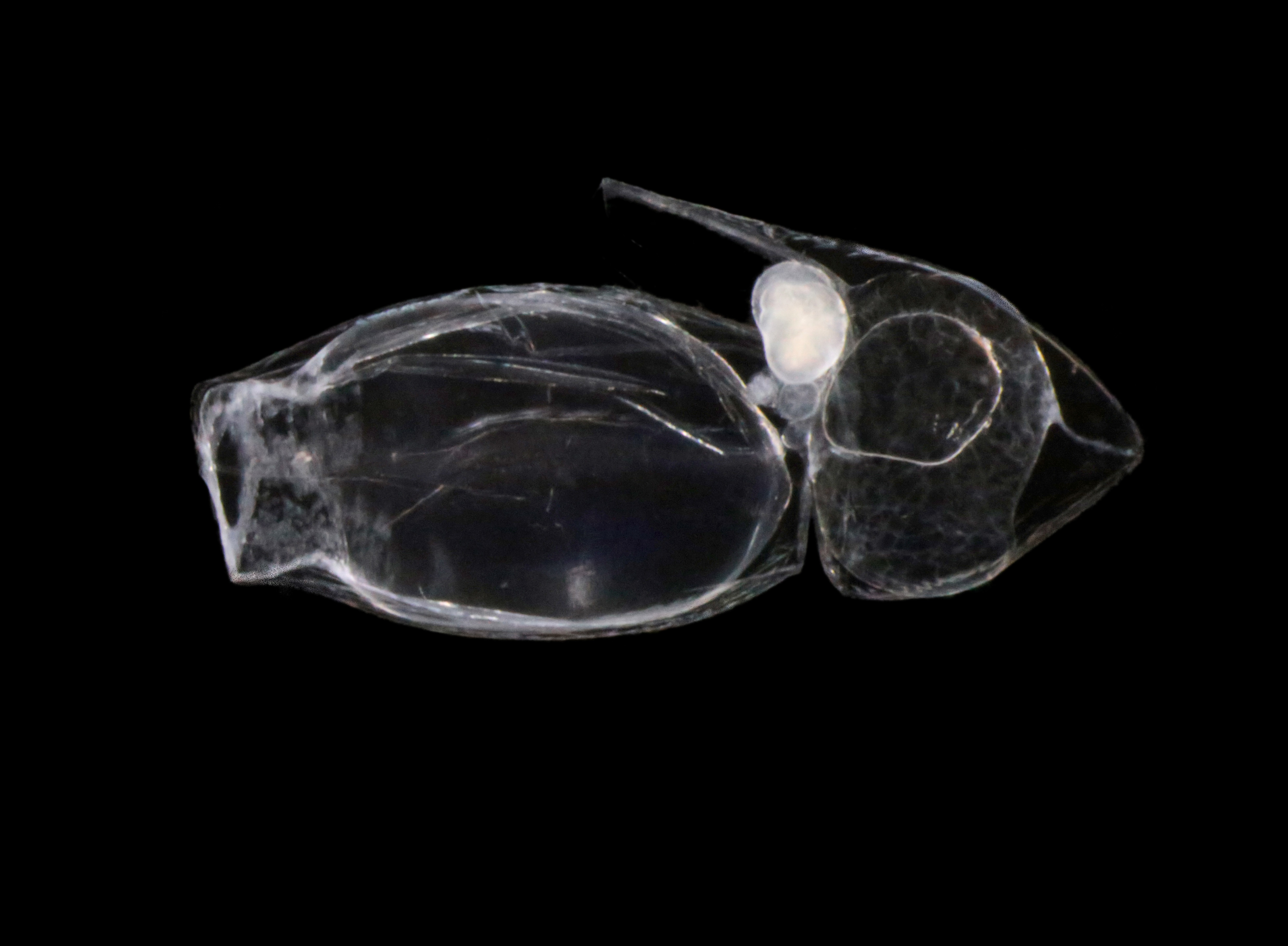 Hydrozoer: Dimophyes arctica.