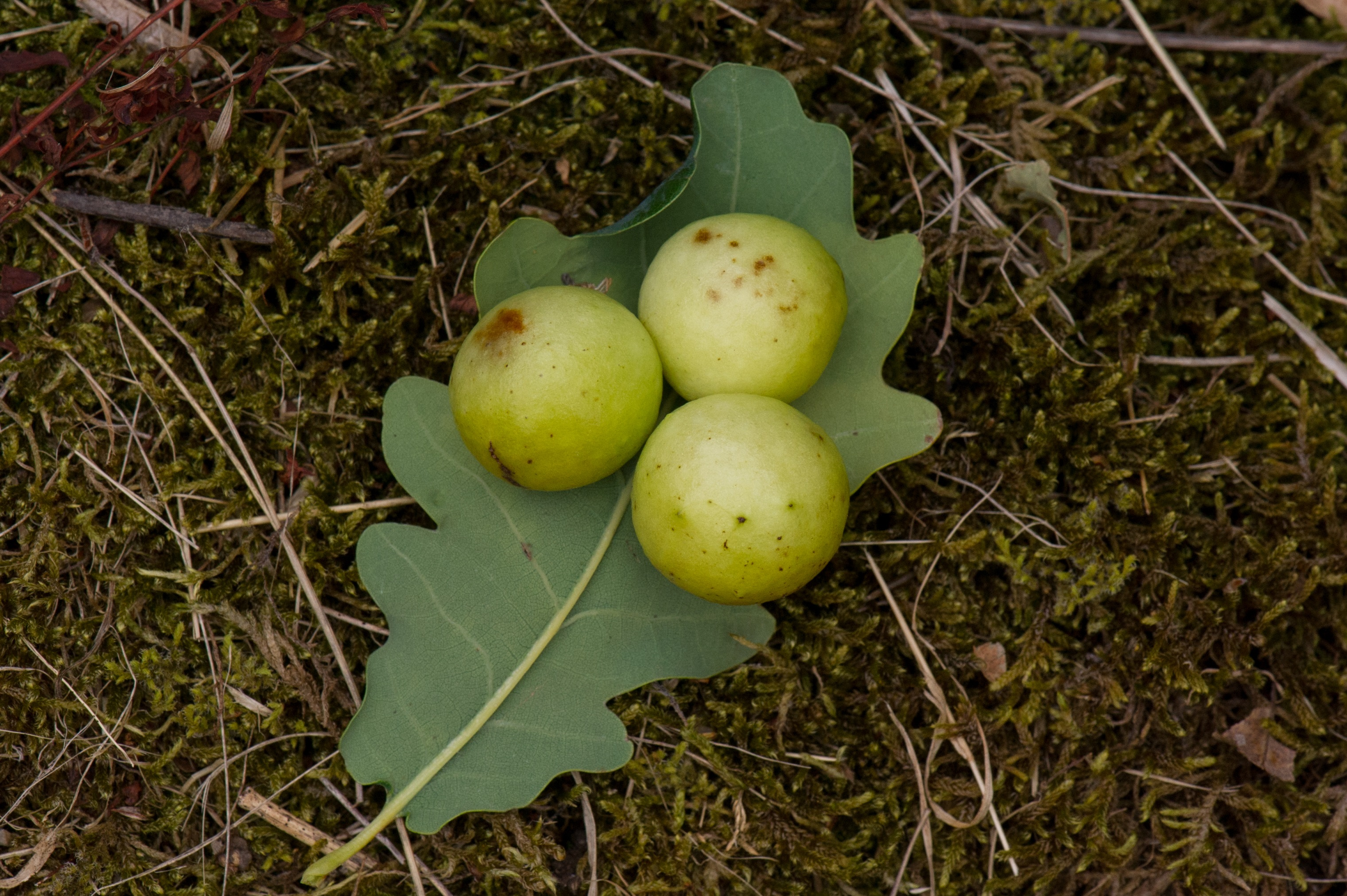 Vepser: Cynips quercusfolii.