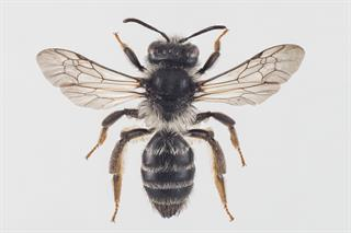Andrena denticulata (Kirby, 1802)