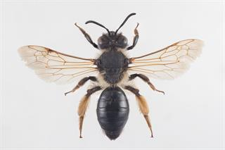 Andrena tibialis (Kirby, 1802)