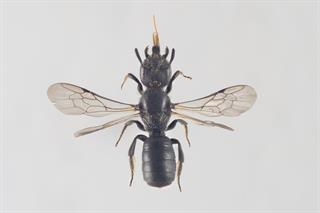 Chelostoma campanularum (Kirby, 1802)
