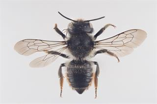 Megachile versicolor F. Smith, 1844