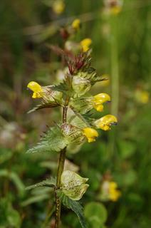Rhinanthus minor L.