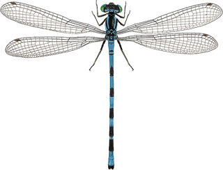 Coenagrion hastulatum (Charpentier, 1825)