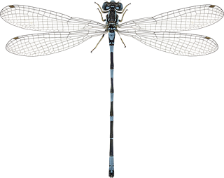 Coenagrion johanssoni (Wallengren, 1894)